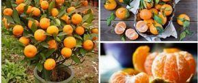 Se você fizer isto em um vaso de plástico, vai ter centenas de laranjas nas suas mãos! - http://comosefaz.eu/se-voce-fizer-isto-em-um-vaso-de-plastico-vai-ter-centenas-de-laranjas-nas-suas-maos/