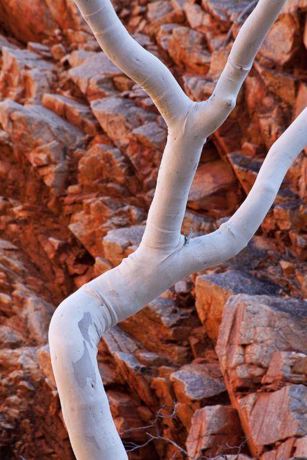 GHOST GUM (Corymbia aperrerinja), Ellery Creek, WEST MACDONNELL NATIONAL PARK