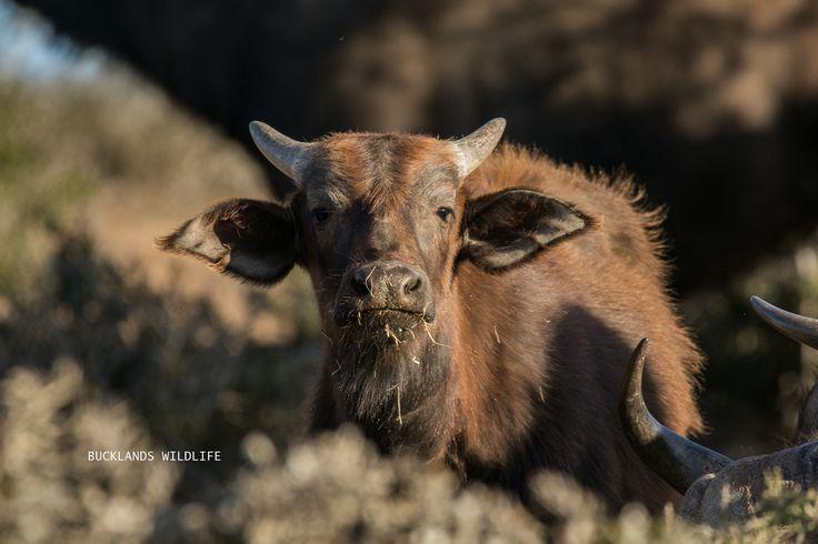A Buffalo calf checking us out, totally nothing to fear when Big Momma is near! #photography #buffalo #buffalocalf #buffalobreeding  #bucklandsprivategamereserve #bucklandswildlife #africa #southafrica