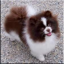 Chocolate Pomeranian - Google Search