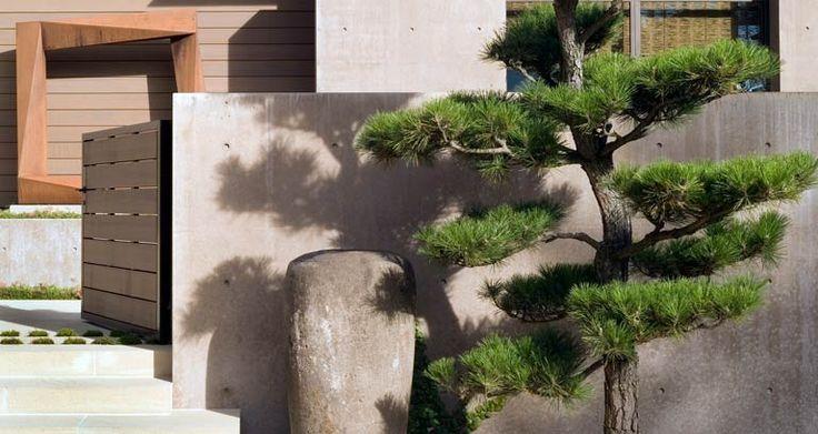 Сосна черная   allworth дизайн • ландшафтные архитекторы