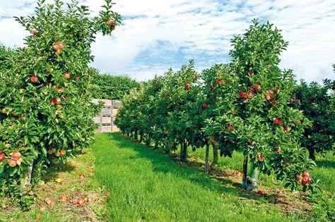 Ovocné stromy – rezať či ohýbať? 11