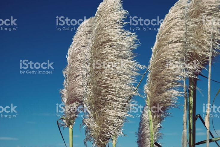 'Toitoi' or 'Toetoe' Grass royalty-free stock photo