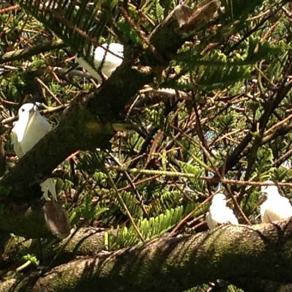 Terns resting on Lord Howe Island