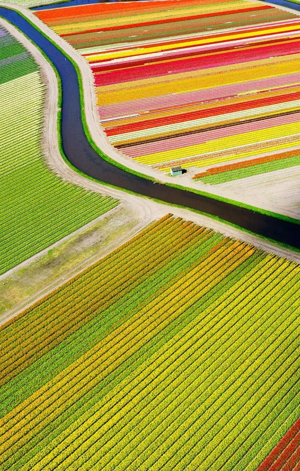 A bird's eye view of tulip fields near Voorhout in the Netherlands.