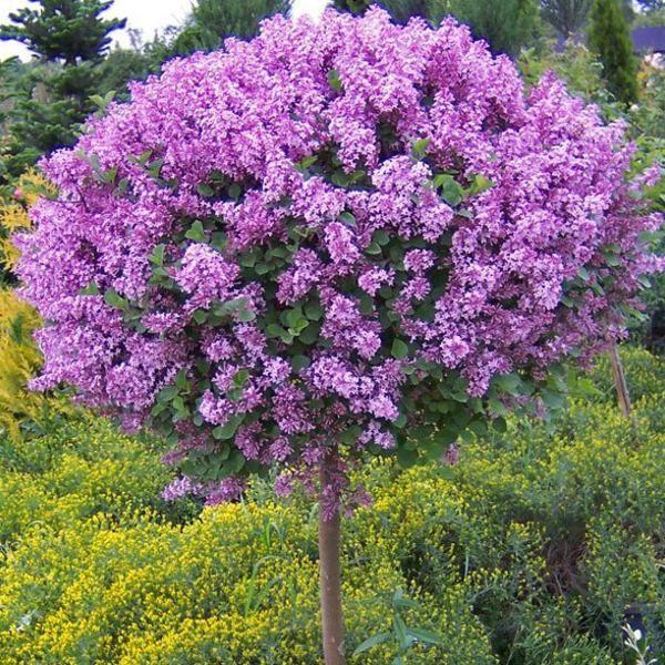 Kup Teraz Na Allegro Pl Za 45 00 Zl Miniaturowy Pachnacy Lilak Meyera Palibin Na Pniu 7318533915 Allegro Pl Korean Lilac Tree Lilac Tree Hydrangea Tree