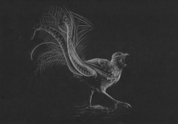 Lyrebird by nekomancer123 on DeviantArt