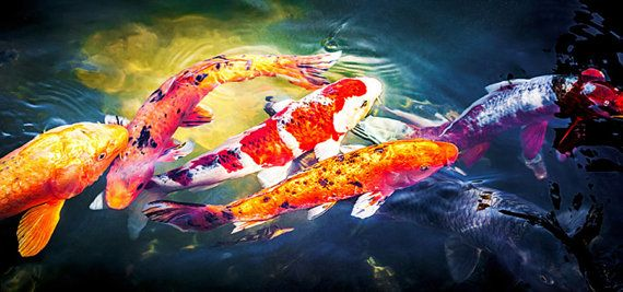 Panoramic Koi Fish Asian Wall Art Fine Art by AvalonPrintShop
