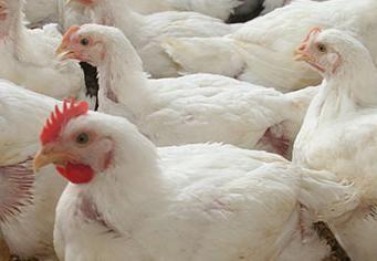 Programas de alimentación para pollos de engorde en sistemas ABF