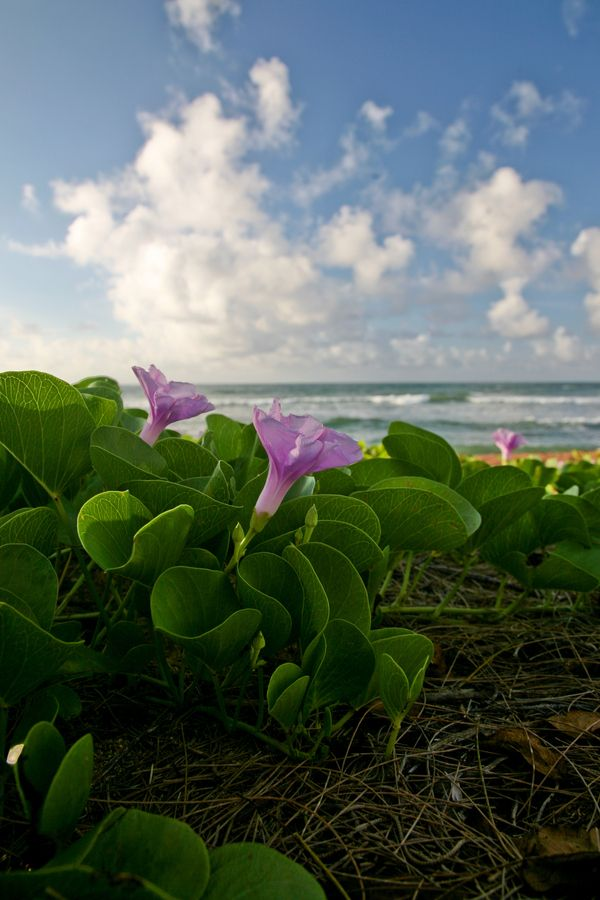 Flowers on the Beach, Hawaii