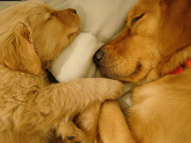 Yes i know I've got golden retrievers everywhere... but I'm in love.. I can't wait to get one... I HAD to repost this mommy and puppy: Animals, Sweet, Dogs, Golden Retrievers, Pet, Adorable, Puppy, Baby