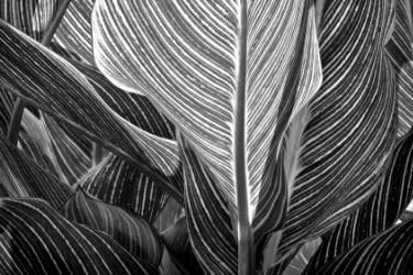 "Saatchi Art Artist Russ Martin; Photography, ""Backlit Canna Leaf"" #art"