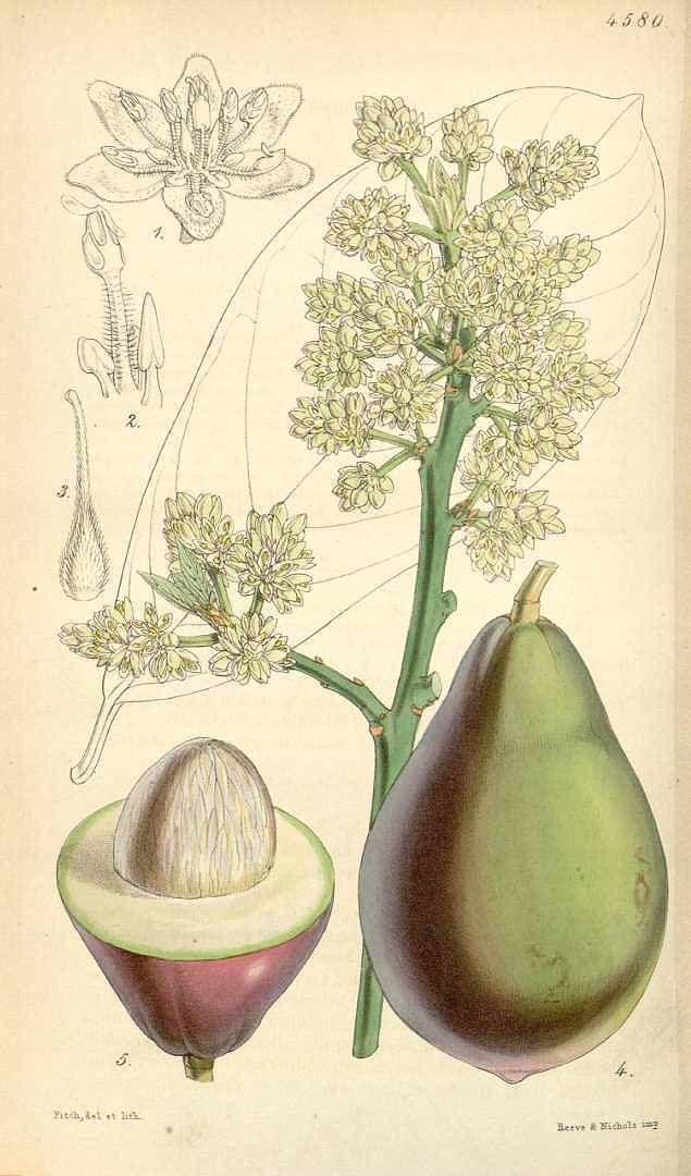 アボカド、ワニナシ クスノキ科 Persea americana Miller  (alligator pear, Avocado)  Curtis's Botanical Magazine, vol. 77 (1851) [W.H. Fitch]