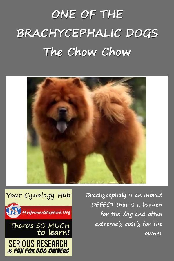 One Of The Brachycephalic Dogs The Chow Chow Best Guard Dogs