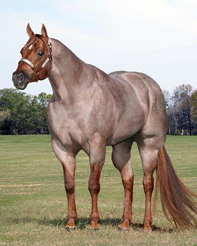 Huge horse, big muscular horse, cappuccino color horse, brown horse, coffee horse,  Cisco Kid