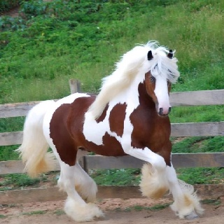 Love this Clydesdale horse...beautiful!
