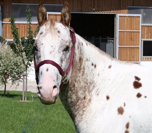 Appaloosa Wallach - Pferde kaufen in Zorneding - pferdeanzeiger.at
