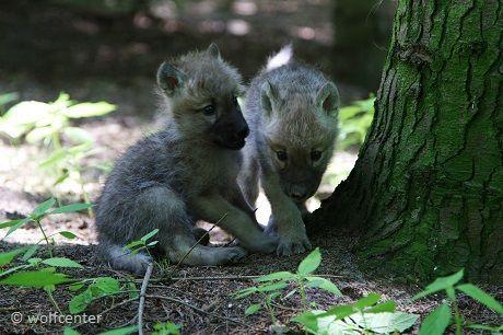Wolf, neugierige Jungwölfe, neugieriege Wolfswelpen, Wolfcenter, Kimo schleicht sich an, Dala und Kimo, Bruder und Schwester, spielende Welpen, sitzender Welpe, sitzender Wolf, Wölfe im Wald, Welpen im Wald, Welpe auf Pirsch, Wolf auf Pirsch, Welpe fixiert, Wolf fixiert