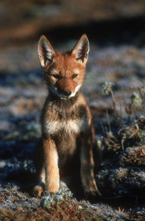25+ best ideas about Ethiopian wolf on Pinterest   Species ...
