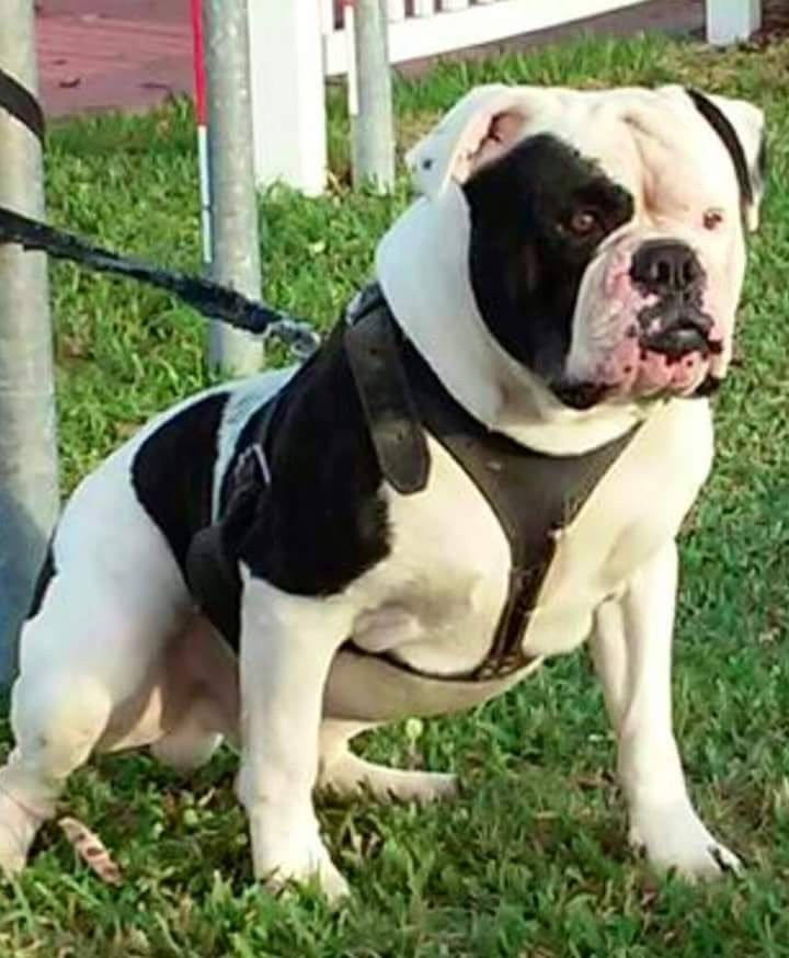 Pin By Michael Paredes On Dogs American Bulldog Puppies Bulldog