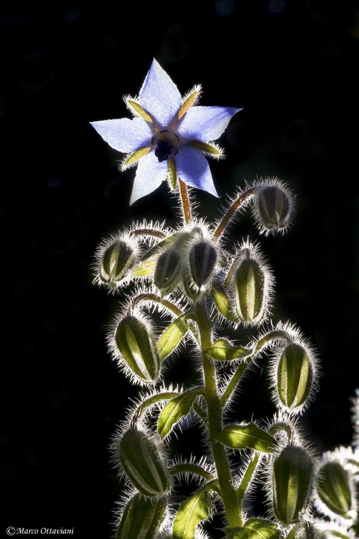 Un fiore di Borrago officinalis in controluce