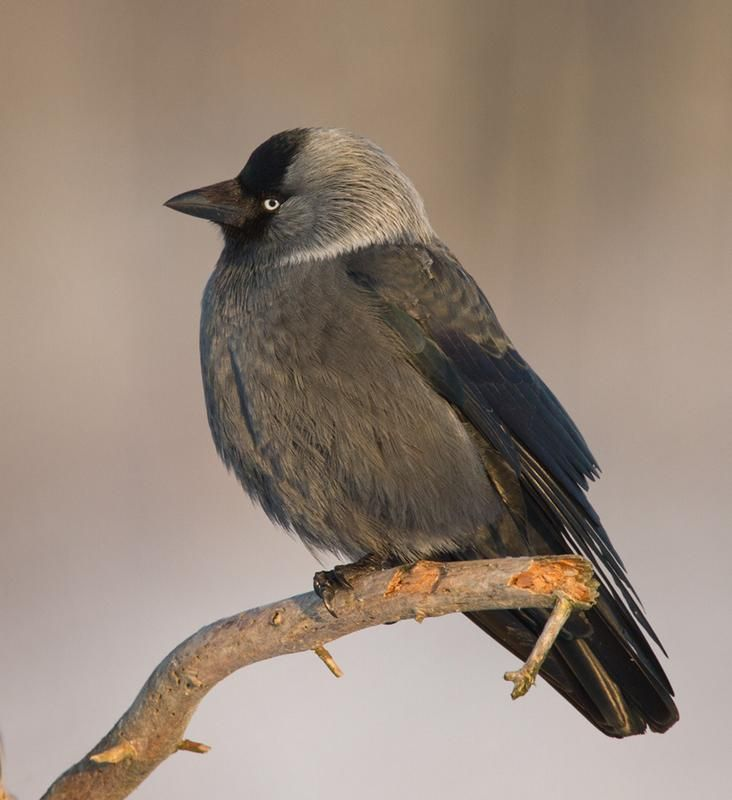 Eurasian Jackdaw (Corvus monedula) A Western Jackdaw perched. | the Internet Bird Collection | HBW Alive