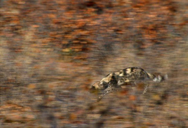 image of an African wild dog running through mopane scrub