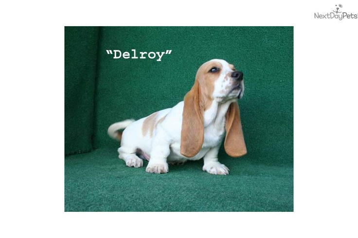 Meet Delroy a cute Basset Hound puppy for sale for $1,200. SOLD Delroy - Red & White AKC Male