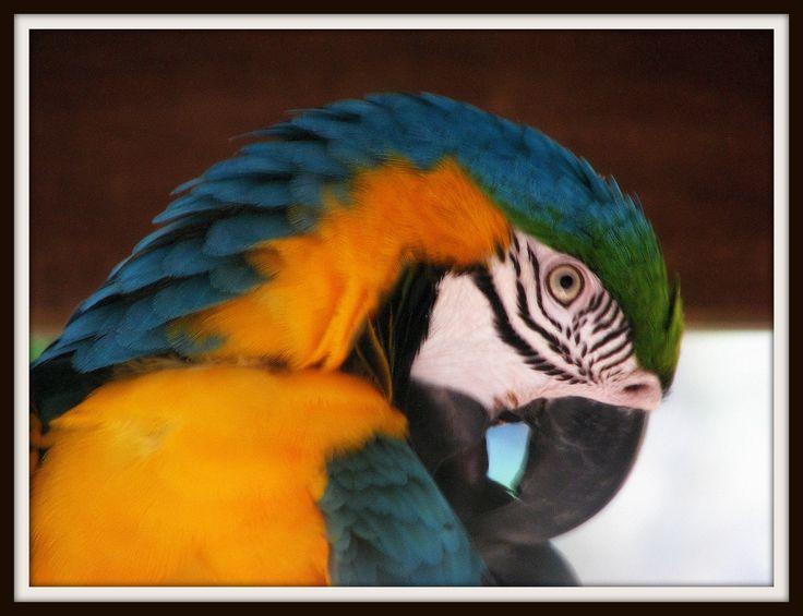 Blue and Gold Macaw taken at Bird world in Kuranda.