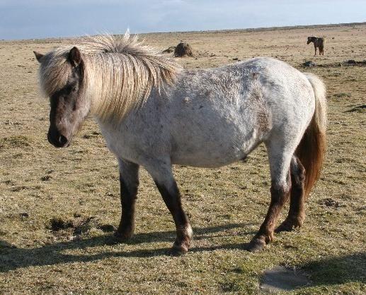 Smoky Black Roan Horse   black roan pinto black roan pinto ...