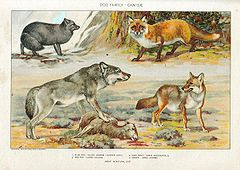 Przedstawiciele rodziny – 1. Lis polarny (Vulpes lagopus) , 2. lis rudy (vulpes vulpes) 3. wilk kanadyjski (Canis lupus occidentalis) 4. kojot preriowy (Canis latrans)