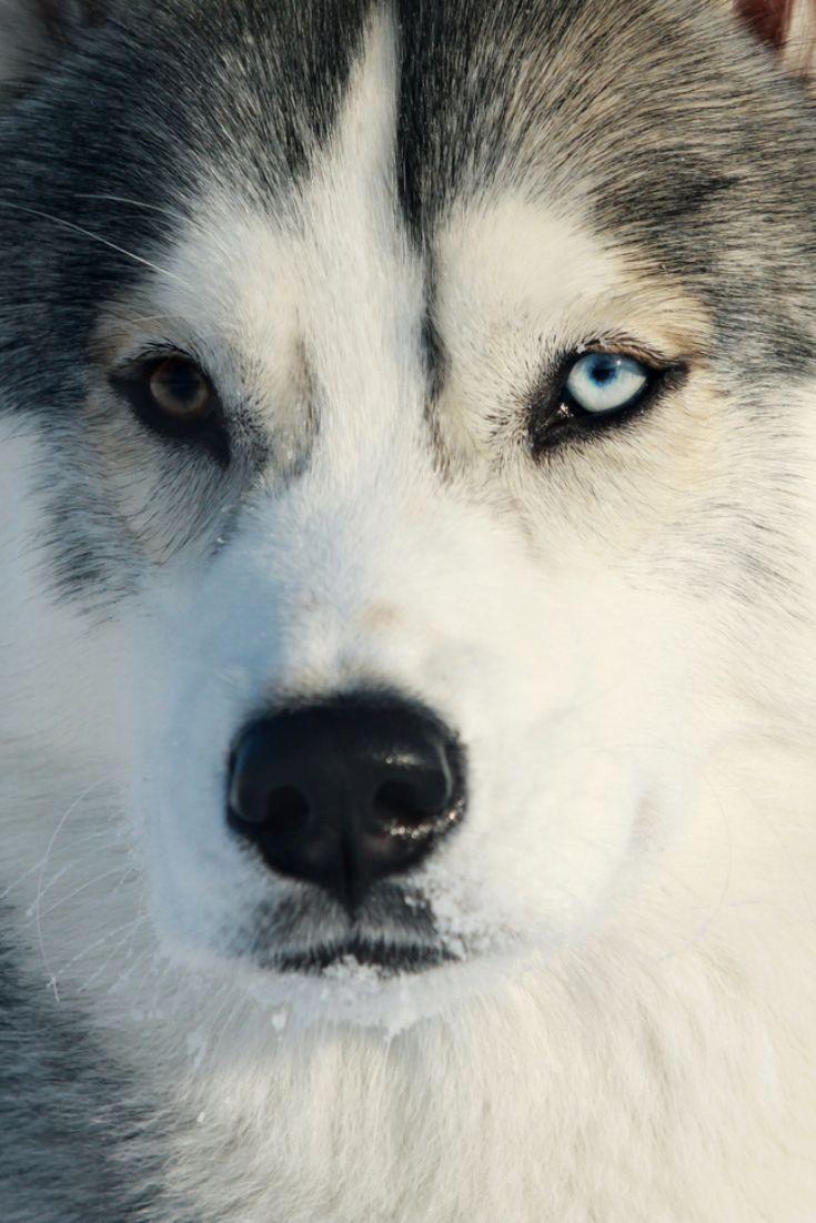 Husky Closeup Siberianhusky Husky Closeup Siberianhusky Rssmix Com Mix Id 9959214 Husky Siberian Husky Yorkshire Terrier