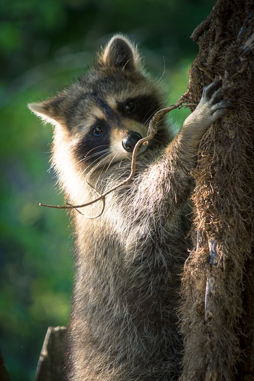 I know raccoons are dirty, vicious creatures but I still think they are adorable.