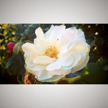 #flowers #beautiful #white #helsinki