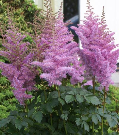 """Klehm's Song Sparrow Farm and Nursery--Appealing, upright trusses of lavender-pink flowers. Tall, strong growing, robust plants. Blooms mid to late summer. Dense, ferny dark green foliage forms a graceful mound at the base of the plant. Astilbe prefer soil with consistent moisture, however the chinensis in the parentage of 'Heart and Soul' allows it to tolerate slightly dryer conditions and a bit more sun. Deer resistant. Size: 30-32"""" tall x 20-26"""". Plant zones: 4-8"""