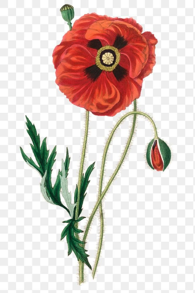 Red Common Poppy Flowers Png Vintage Sketch Free Image By Rawpixel Com Neung Poppy Flower Drawing Botanical Illustration Vintage Poppy Flower