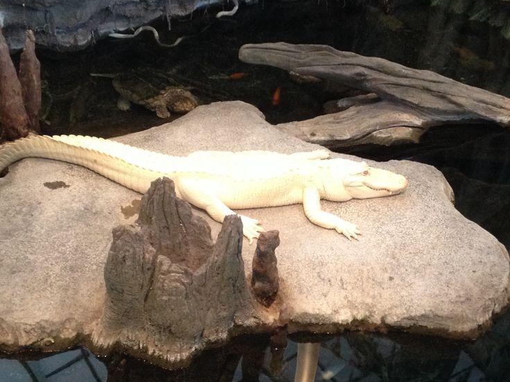 Claude the albino alligator
