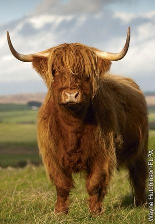 beautiful Highland Cow - Scotland