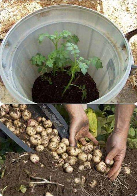 Utilisez un tonneau pour cultiver des pommes de terre