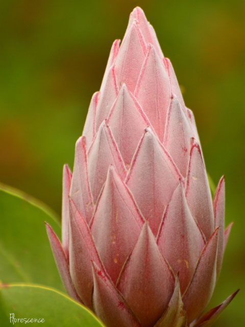 Protea, Kirstenbosch Botanical Gardens, Cape Town, South Africa (c) Florescence