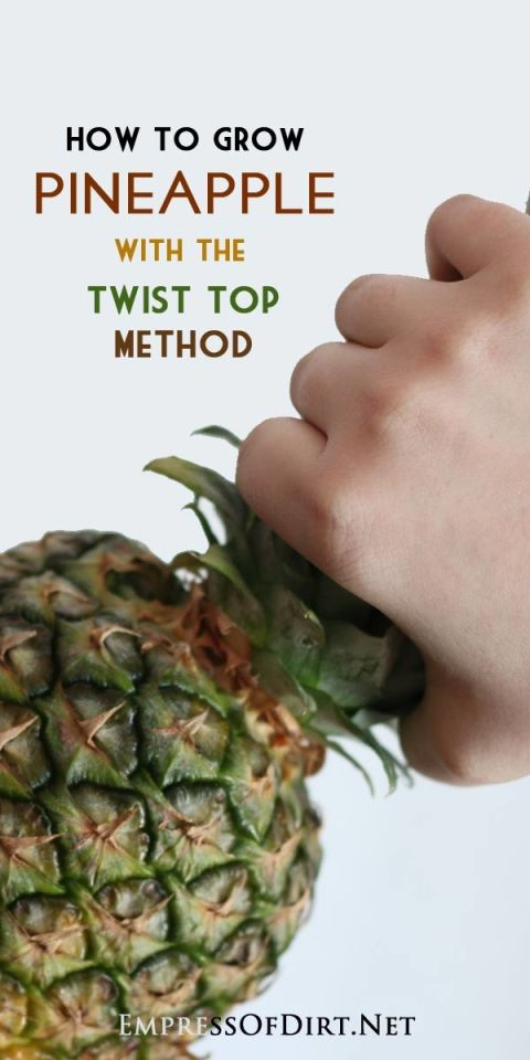 How to grow a pineapple indoors with the twist top method: grow your own from a grocery store pineapple