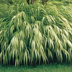 shade perennial - golden japanese forest grass
