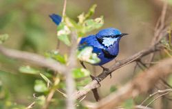 FAR-0007232 © WestPix Blue wren perched on a branch. Picture: Farhad Mobarra