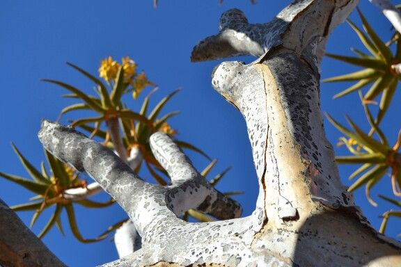 #macro #namibia #quiver tree #photography