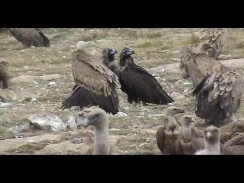 Proyecto de reintroducción del buitre negro en Los Pirineos, Boumort II