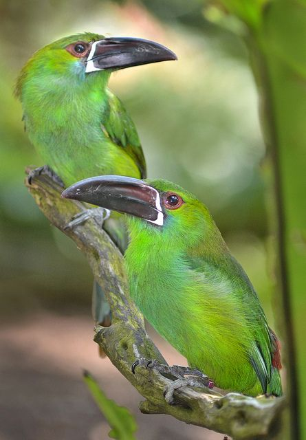 Green party by Stinkersmell on Flickr.  Two Crimson-rumped Toucanets have opposing views at the San Diego Zoo