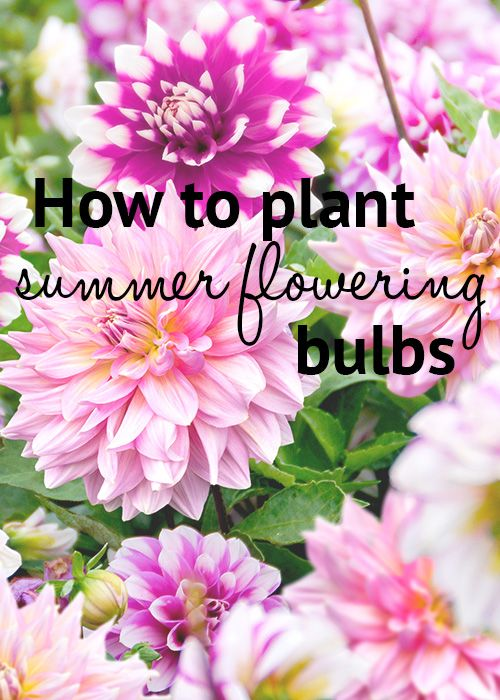 How to plant summer-flowering bulbs like dahlias, lilies, irises, begonias and gladioli. This site has really helpful information