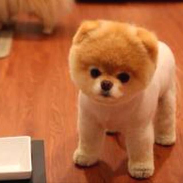 Pomsky. Pomeranian/Husky. Cutest Thing Ever!!