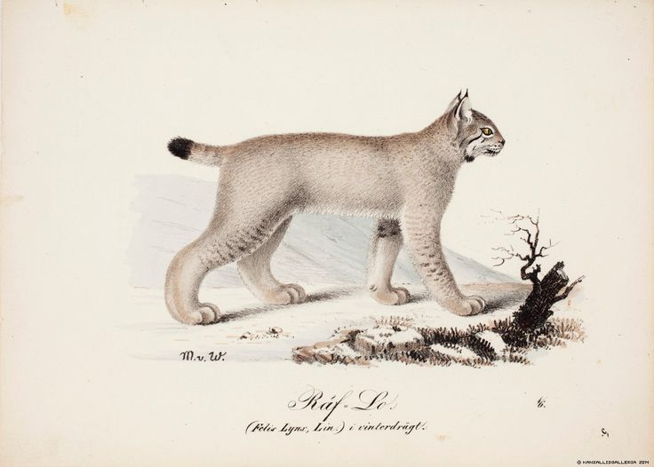 Ilves (lynx lynx) 1829 Artist: Magnus von Wright Photographer: Finnish National Gallery/Tero Suvilammi Copyrights © Artists, photographer, other copyright holders, the Visual Artists' Copyright Society Kuvasto and the Finnish National Gallery via kokoelmat.fng.fi