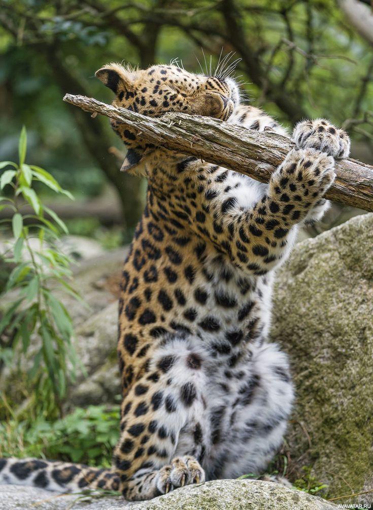 смешные фото амурского леопарда поезда можно заказать